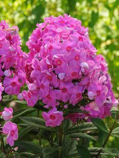 Cosmopolitan (Garden Phlox) 16 Perennials That Attract Hummingbirds to Your Garden! Cosmopolitan Perennials That Attract Hummingbirds to Your Garden! Hummingbird Plants, Flowers Perennials, Flower Garden, Flowers, How To Attract Hummingbirds, Fragrant Flowers, Perennials, Plants, Planting Flowers