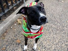 PULLED BY POUND HOUNDS RES-Q - 12/08/15 - TO BE DESTROYED - 12/08/15 - **PUPPY ALERT** - ELEANOR - #A1059195 - Urgent Manhattan - FEMALE BL BRINDLE PIT BULL MIX, 8 Mos - STRAY - NO HOLD Intake Date 11/29/15 Due Out 12/02/15