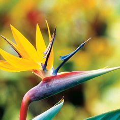 Oiseau de paradis, Jardin botanique national de Kirstenbosch – Afrique du Sud