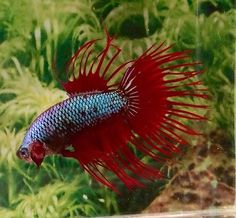 #139 Thai Import Fancy Red Blue Dragonscale Crowntail CT Male Betta Live Fish
