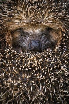 Porcupine Cutiepie