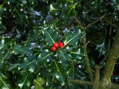 Holly bush at Hollingworth lake - gem217
