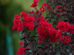 Dark purple leaves and bright red flowers on a Black Diamond Crape Myrtle. Photographed at our tree farm by Treeland Nursery. Shade Flowers, Red Flowers, Purple Leaf Plum Tree, Crepe Myrtle Trees, Backyard Plan, Tree Base, Shades Of Burgundy, Black Leaves, Garden Trees