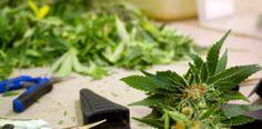 Cuando cortar / cosechar  mis plantas de Marihuana?