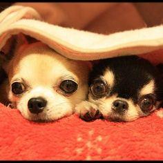Chihuahuas, super cute