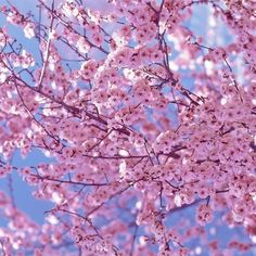A century ago, Japan gave the United States cherry blossom trees as a sign of friendship. Cherry Blossom Tree, Blossom Trees, Cherry Tree, Pretty In Pink, Beautiful Flowers, Simply Beautiful, Beautiful Places, Beautiful Pictures, Prunus