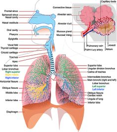 Diagram of the human body internal organs nursing pinterest when looking at this excellent human respiratory system diagram medical students can more easily understand the anatomy and function of the respiratory ccuart Gallery