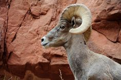 Rocky Mountain Big Horn Sheep Best Family Vacations, Family Vacation Destinations, Animals With Horns, Big Horn Sheep, Big Game Hunting, Rocky Mountain National Park, Wild West, Rocky Mountains, Beautiful Creatures
