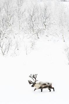 Snow White Reindeer