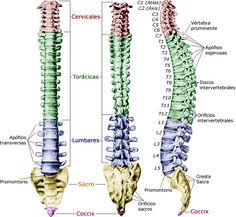 LA COLUMNA VERTEBRAL: APUNTES   La planificación de cómo fue creada la compleja estructura de la columna vertebral humana, el mecanismo de vértebras, articulaciones, músculos y ligamentos que la sostienen y mueven, es fascinante.  Hoy hablamos sobre este tema en nuetsro blog.  www.unrespiro.es Técnicas de desarrollo y evolución personal on line (yoga, meditación, relajación, pranayama, tai chi, pilates, PNL, mindfulness, Coach y mucho más)