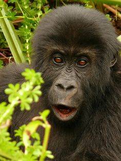 Mountain gorilla, Kahuzi-Biega National Park, Congo   Ovidiu Grovu via Flickr