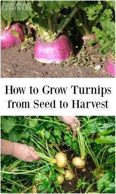These gardening tips on how to grow turnips include how to plant turnip seeds, how to care for turnips, and how to harvest turnips.
