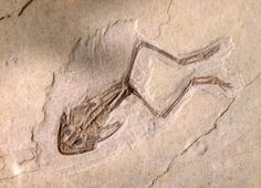 Frog fossil, no change to ourdays frogs