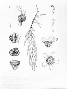Willow Myrtle (Agonis flexuosa)