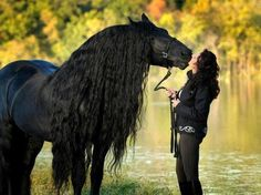Beautiful freisan horse kisses. Look at that amazing mane!!! wow!!