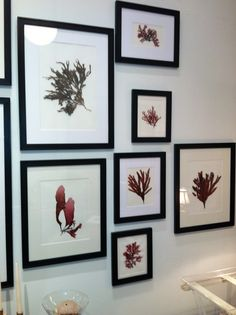 Pressed seaweeds collected in Montecito, CA and framed by D. Zelen in San Francisco