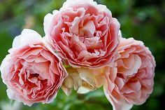 english rose oil painting images - Google Search