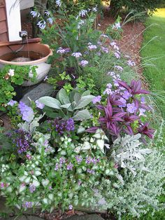 Every spring, I pull out all the stops when it comes to planting the big pot beside my front door. I usually pick a color theme and proceed to cram in all kinds of foliage and flowers that fit the theme. This year I stuffed it full of silvers and purples, including Helichrysum petiolare, heliotrope, Strobilanthes dyerianus (Persian shield), cineraria, lamium, salvia, Plectranthus argentatus, nemesia and more!
