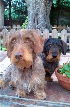 ❤️love these two wired haired sausage dogs