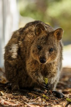 Image Result For Quokka Selfie Quokka Selfie Pinterest - 15 photos that prove quokkas are the happiest animals in the world