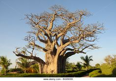 size: Photographic Print: Baobab Tree, Sine Saloum Delta, Senegal, West Africa, Africa by Robert Harding : Artists Unique Trees, Unique Plants, Yosemite National Park, National Parks, Baobab Tree, Big Tree, West Africa, Botanical Art, Natural Wonders