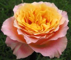 Free Spirit - Standard Rose - Roses - Flowers by category   Sierra Flower Finder