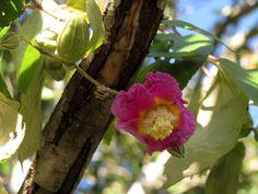 Flor de Zoita | Flor de Zoita. (Luehea divaricata Mart.) Tom… | Flickr - Photo Sharing!