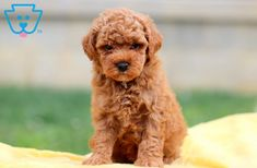 This Toy Poodle puppy is super sweet and cute as can be! She will surely make everyone she comes across fall in love with her. Toy Poodles For Sale, Toy Puppies For Sale, Cute Baby Puppies, Poodle Puppies For Sale, Black Lab Puppies, Cute Babies, Corgi Puppies, Baby Dogs, Poodle Grooming