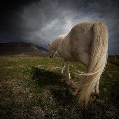 The icelandic horse    http://johannsmari.zenfolio.com/p316195489/hd6e2212#hd6e2212