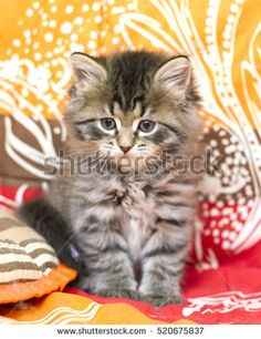 Sweet kitten of siberian breed brown version on a coloured blanket
