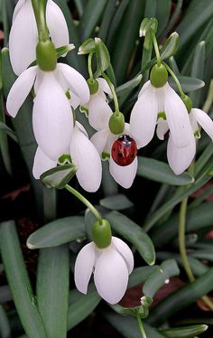 Ladybird and Snowdro Beautiful gorgeous pretty flowers White Flowers, Beautiful Flowers, Beautiful Gorgeous, Deco Nature, Bugs And Insects, Belle Photo, Spring Flowers, Flowers Garden, Flower Power