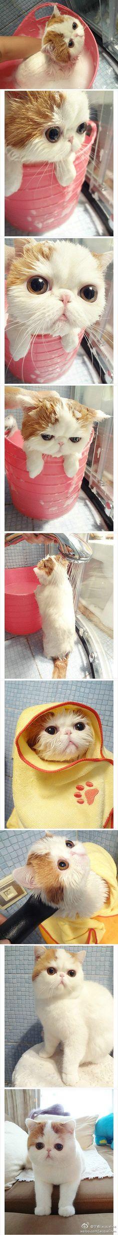 加菲猫洗澡到吹干全过程:真正的美猫不惧湿身,不惧头发被弄乱!毫不影响魅力值!