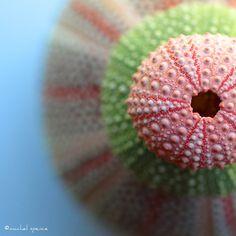 #sea urchins