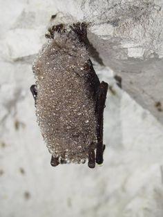 Alberta Bats Bat Facts: hear rate in hibernation is 10 bpm vs 250 bpm to over 800 bpm in flight in summer.