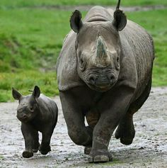 First rhino calf born in the history of Howletts Wild Animal Park near Canterbury in Kent Wildlife Photography, Animal Photography, Asian Rhino, Rhino Species, Rhino Animal, Baby Animals, Cute Animals, Wild Animal Park, Baby Rhino