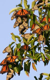 monarch butterfly migration. Reminds me of when I was little and they'd stop in the back yard. You could go out and clap your hands and butterflies would flutter all around you.