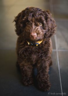 chocolate cockapoo   ...........click here to find out more     http://googydog.com