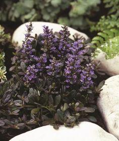 6-PACK Bodembedekker I Planten outdoor   Online tuincentrum BB-Tuinproducten   Online tuincentrum BB-Tuinproducten