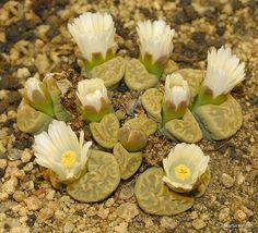 Lithops marmorata flowers