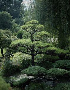 Pine in Hill Garden