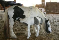 Homepage des Gestüts Granja Benirrama - Zucht von Tinkers, Irish Cobs, Wildpferden und anderen guten Freizeitpferden