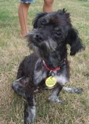 Maverick is an adoptable Poodle Dog in Edina, MN.  Name: Maverick Age :2 Gender: Male Breed: Miniture Poodle/ Miniature Schauzer Weight: 8 Dog friendly: Yes, Fearful at first Cat friendly: Yes Kid fri...