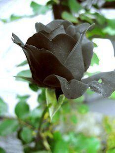 Amazon.com: Black Rose Flower Rare ! 5 Seeds!: Patio, Lawn & Garden