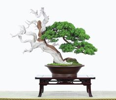 Beautiful Bonsai Shimpaku Juniper