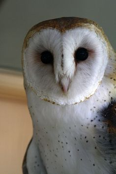 Curly the Barn Owl! See more pictures at whitniebird on Flickr!