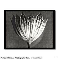 Postcard-Vintage Photography-Karl Blossfeldt 50 Postcard