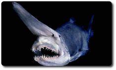 ミツクリザメ (Goblin Shark)