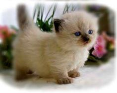 Munchkin Kitten- their legs are naturally this small cute WHERE HAS THIS BEEN ALL MY LIFE????!!!!!!!