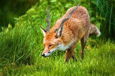Foxalope - Imgur