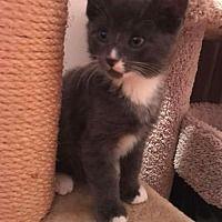 Oakhurst, New Jersey - Domestic Shorthair. Meet Sebastian, a for adoption. https://www.adoptapet.com/pet/21031899-oakhurst-new-jersey-cat